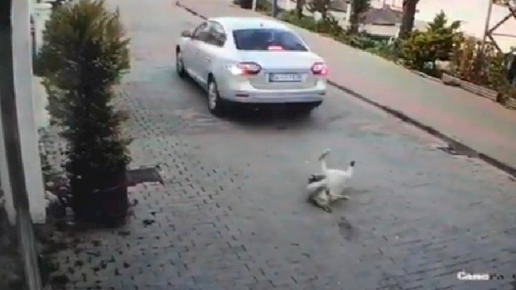 Köpeği Ezdi, Arkasını Dönüp Gitti!
