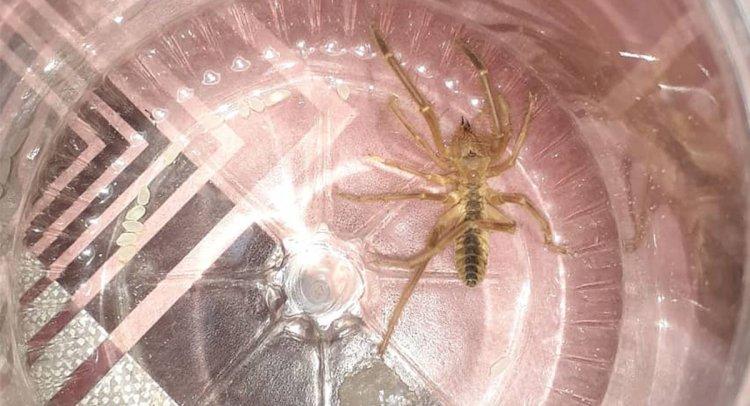 Korkutucu Böcek Bu Kez Kızılağaç'ta Yakalandı!