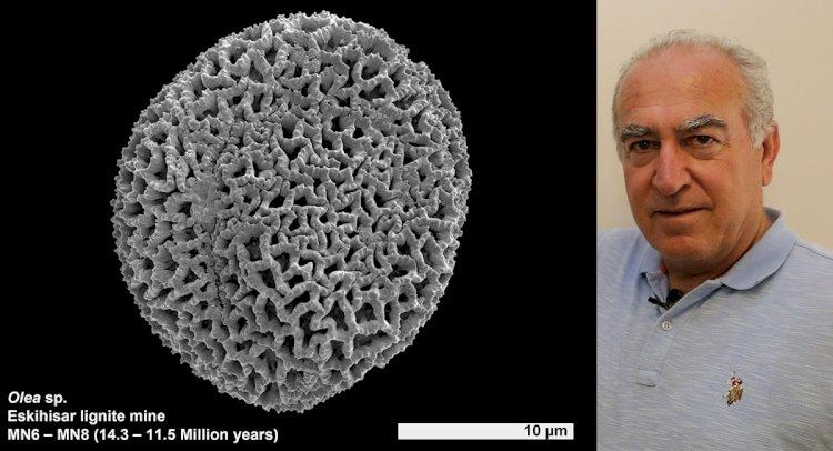 Yatağan'da 14,3 Milyon Yıllık Zeytin Poleni Fosili