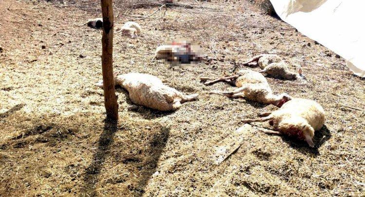 Köyceğiz'de Kurtlar 13 Koyunu Telef Etti!..