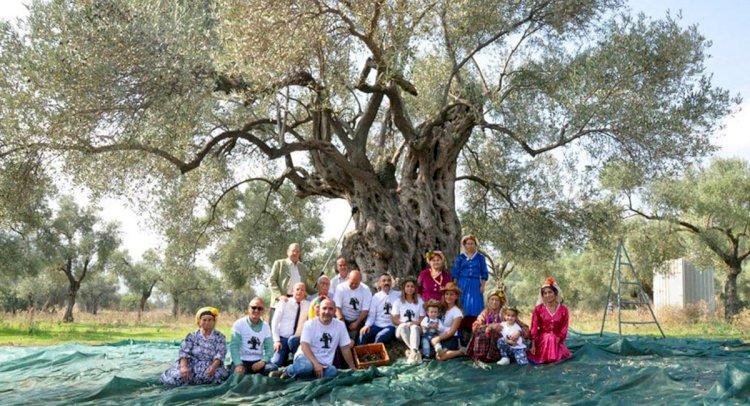 3 Bin 200 Yıllık Zeytin Ağacında Hasat