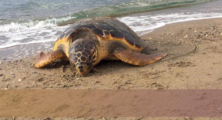 Caretta Caretta Kıyıya Vurdu