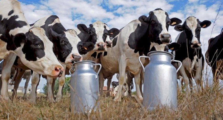 Süt Üreticisi Çok Zor Durumda!