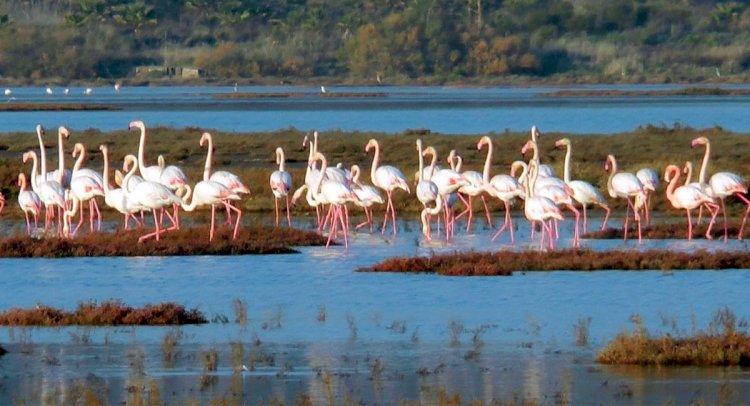 Flamingo Akını Sürüyor...