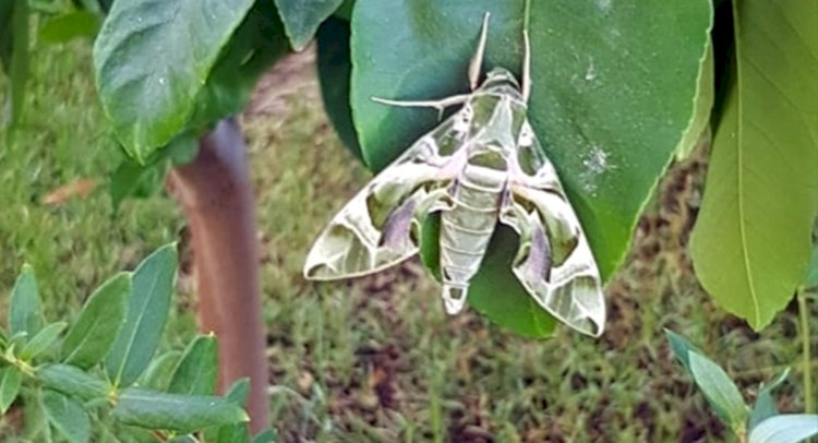 Milas'ta Mekik Kelebeği Görüntülendi